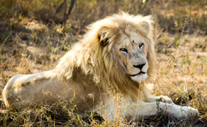 Fate of the White Lions at CITES