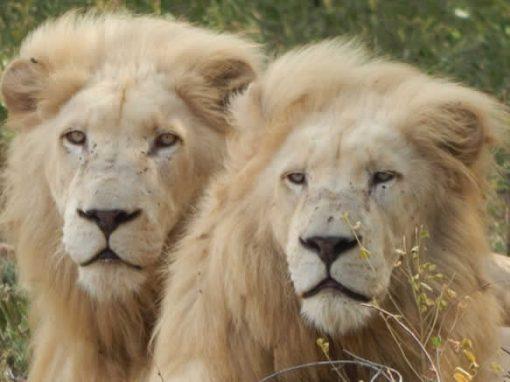 Lion legacy – education, leadership & development
