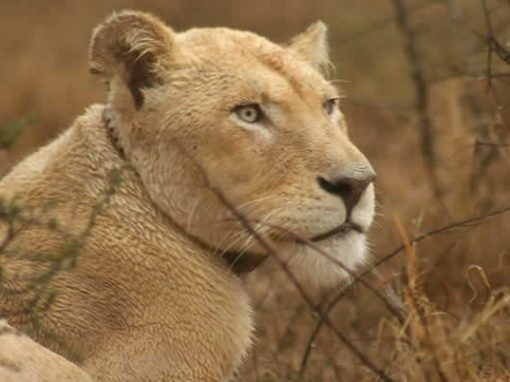 The story of Marah, the miracle of the white lioness.