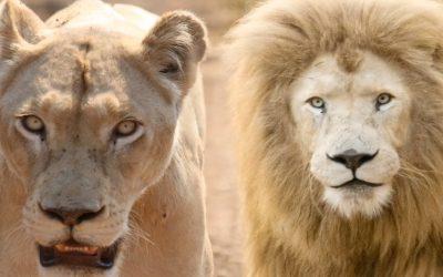 8:8 StarLion Gate 2020 White Lion Global Peace Prayer